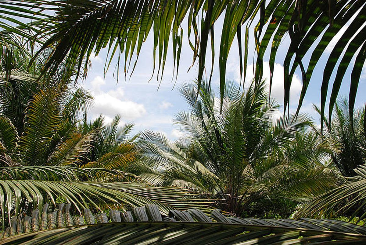Grafica alusiva a El agronegocio de la Palma Aceitera en Colombia. ¿Desarrollo para las poblaciones locales o una crónica para el desastre?