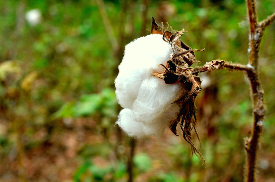 Grafica alusiva a Colombia aprueba la liberación comercial del bioplaguicida transgénico, algodón Bt de Monsanto