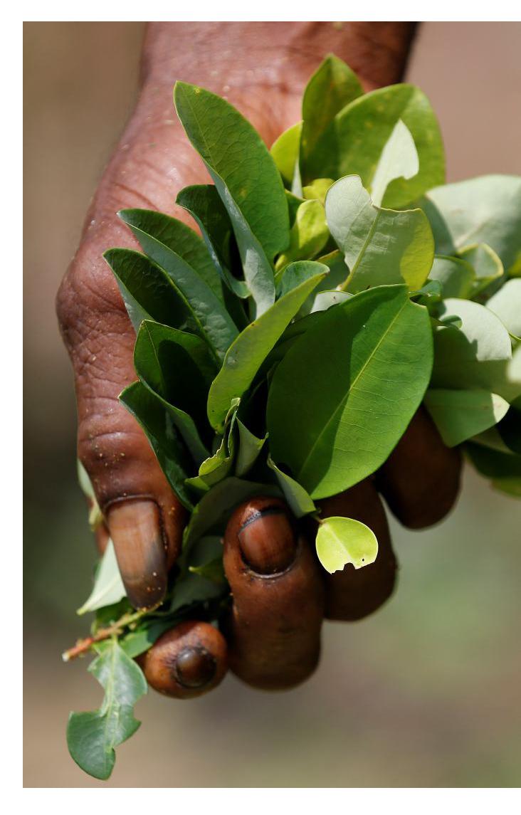 Grafica alusiva a Balance de un año de implementación de la política de sustitución de cultivos de coca
