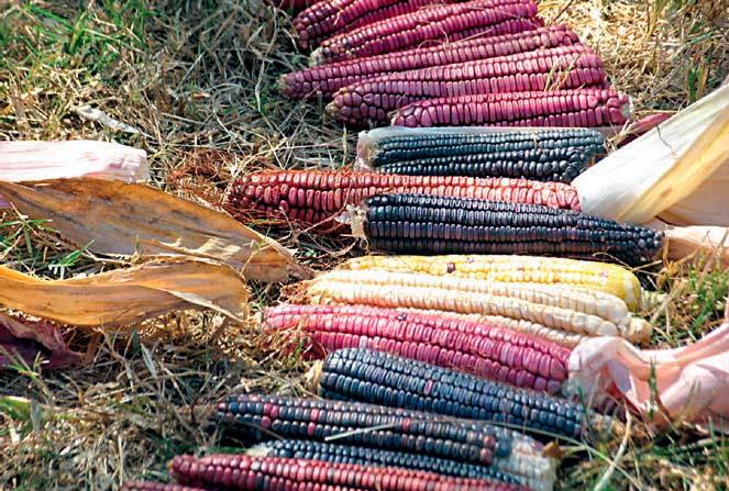 Grafica alusiva a Arqueología Mexicana: El maíz