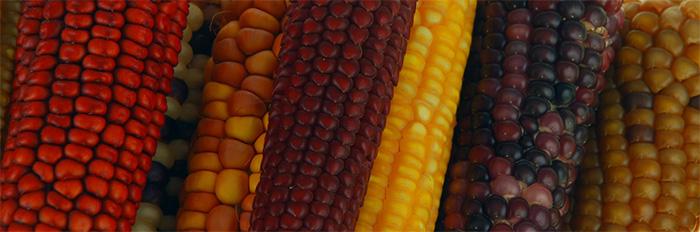 Grafica alusiva a La diversidad de maíces criollos en Colombia