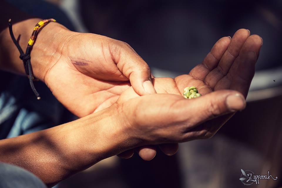 Grafica alusiva a El maíz: alimento sagrado para los campesinos