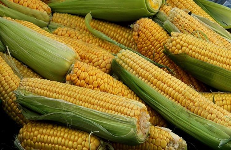 Grafica alusiva a Los maíces Chococito: Base de la autonomía alimentaria y del desarrollo cultural de las comunidades negras en la costa Pacífica