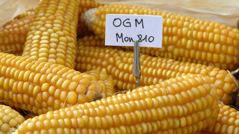 Grafica alusiva a Los maíces transgénicos que se quieren introducir en Colombia