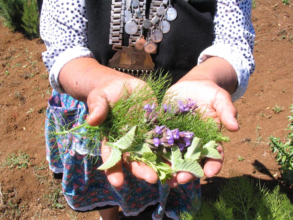 Grafica alusiva a Recuperación de plantas medicinales por mujeres Mapuches - Chile