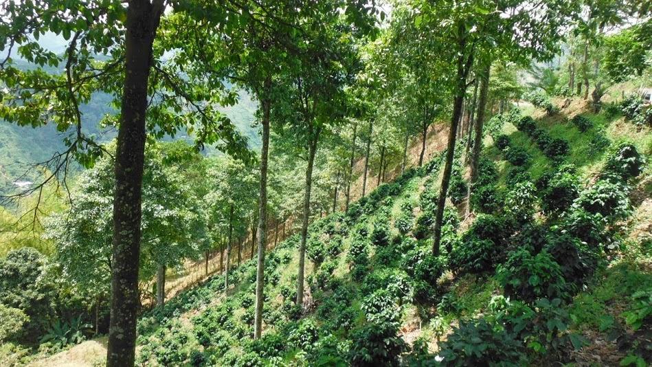 Grafica alusiva a Fomento de sistemas agroforestales en la comunidad Indígena de Chajeradó
