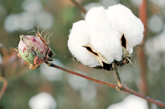 Grafica alusiva a El fracaso del algodón transgénico en Colombia