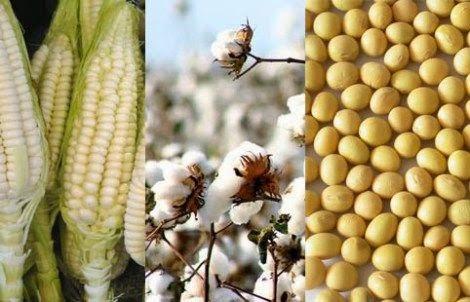Gráfica alusiva a Los cultivos de maíz y algodón transgénicos en Colombia