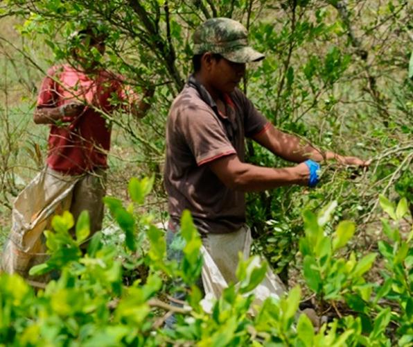 Grafica alusiva a La agonía del campesino cocalero en Colombia