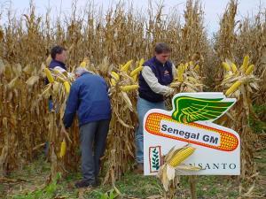 Gráfica alusiva a La economía post- OGM: Agricultores abandonan las semillas GM...Y no es por ideología